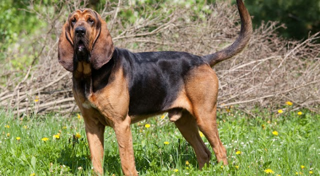Bloodhound Dog Breed Info: Price, Characteristics, Aggressiveness & Facts