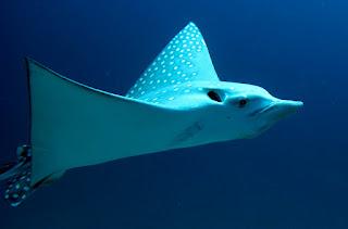 Roberto piazza immersioni nel mondo aetobatus narinari for Pesce rosso razza