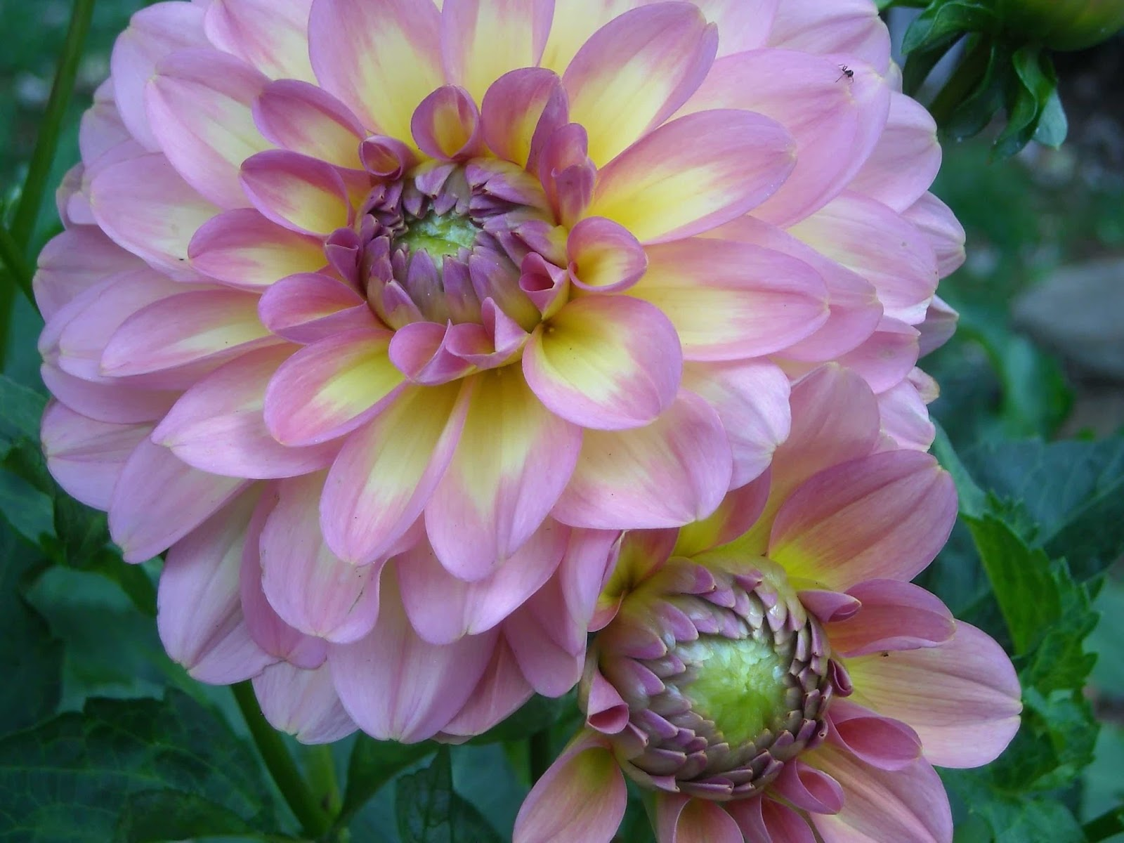 Real world gardener dahlia floral meanings and vase life in talking dahlia2bpinkg izmirmasajfo