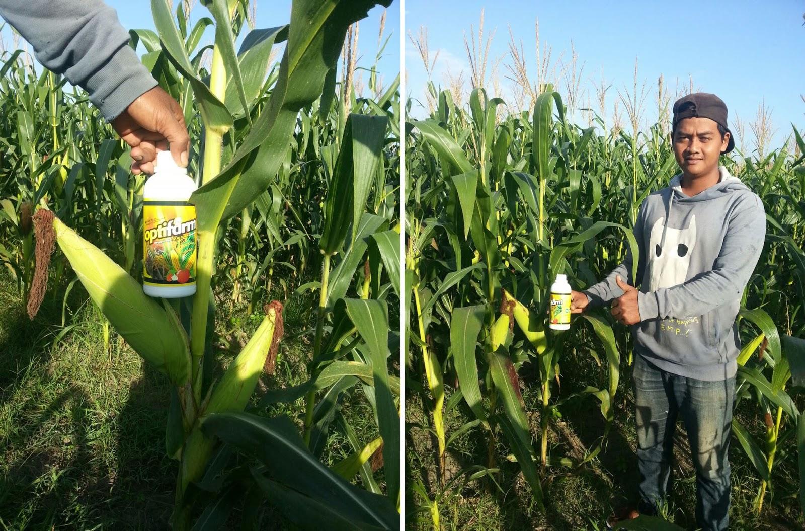 Walaupun irit pupuk dan pestisida, tanaman jagung bebas bulai tongkol jadi besar