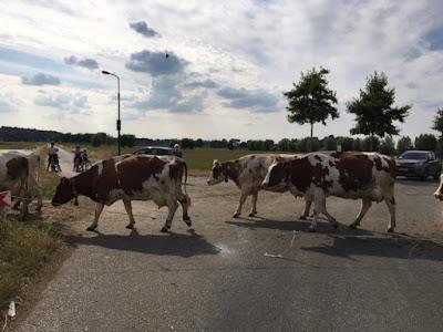 Koeien steken over