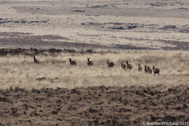 A group of deer walking in single file across a grassy area of moorland.