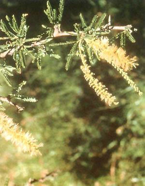 Ñandubay Prosopis affinis