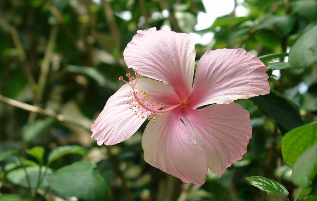 Fiore di ibisco o karkadè, pianta utile per la pressione alta