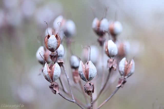 millepertuis hypericum hidtcote fructification automne (4)
