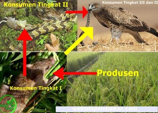 Rantai Makanan dan Contoh Rantai Makanan pada Ekosistem Alam  Pengertian Rantai Makanan dan Contoh Rantai Makanan pada Ekosistem Alam dan Buatan