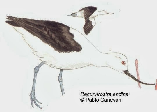 Avoceta andina: Recurvirostra andina