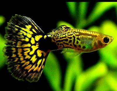 Sejarah ikan guppy cobra