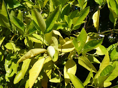Yellowing lemon leaves