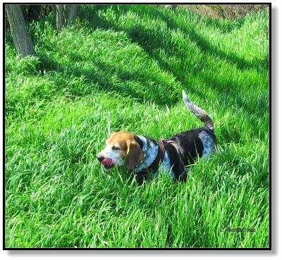 frecher Beagle
