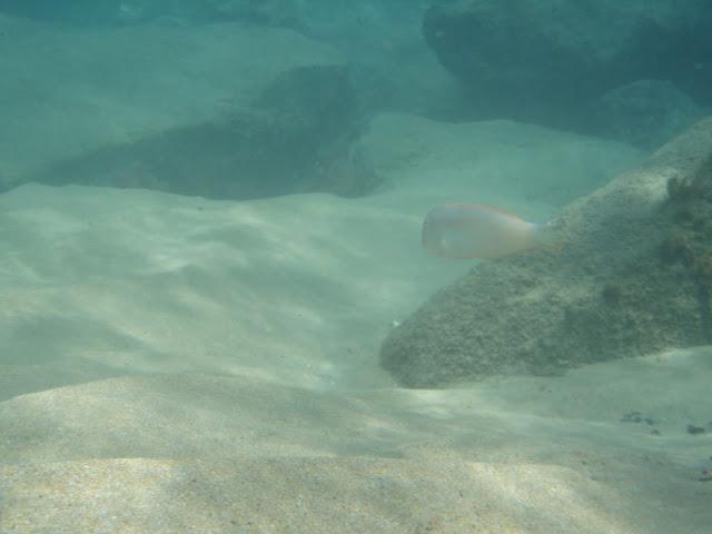 Schermesserfisch - Xyrichthys novacula 05
