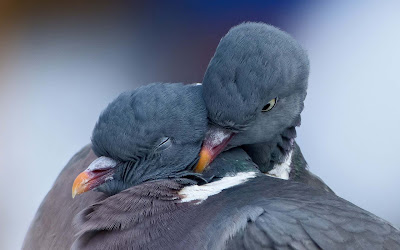 Two-Cute-Dove-Doing-Romance-Bird-Photos