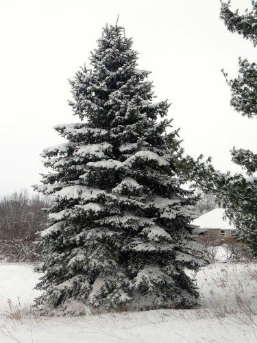 snow covered blue spruce