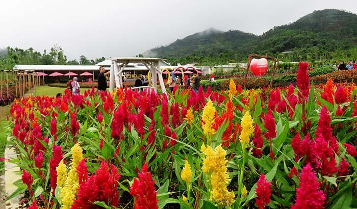 Warna-warni Bunga di Kutabawa Flower Garden