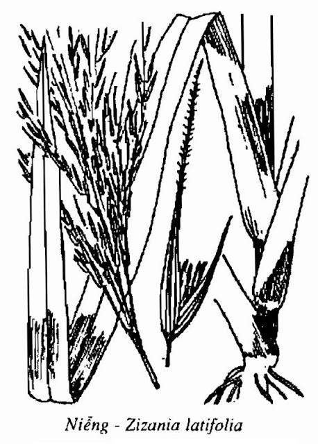 Hình vẽ Cây Niễng - Zizania latifolia - Nguyên liệu làm thuốc Chữa Cảm Sốt