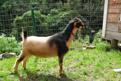 Nigerian Dwarf Goat doe at Arlington Acres Farm in Pittsburgh, Pennsylvania