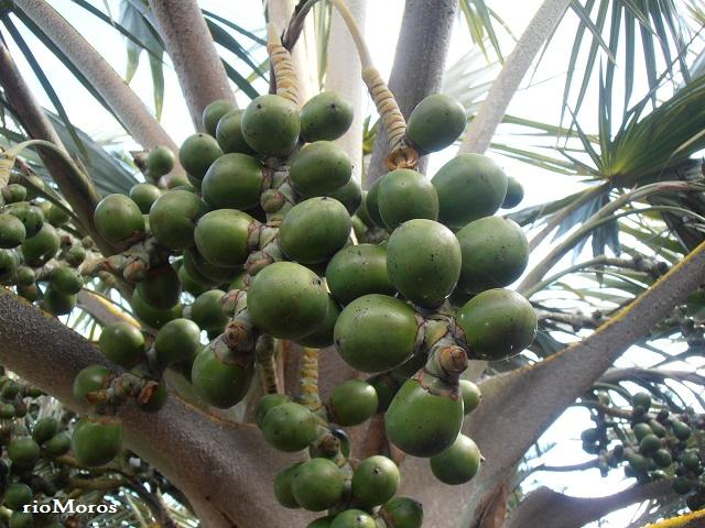 Frutos de LATANIA AMARILLA Latania verschaffeltii