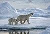 L'ours blanc, aussi connu sous le nom d'ours polaire, est un grand mammifère omnivore originaire des régions arctiques