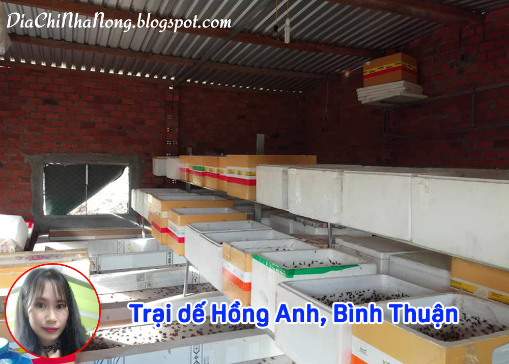 Dế mèn giống ở Bình Thuận