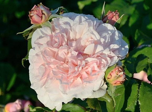 Rose de Tolbiac сорт розы фото Минск