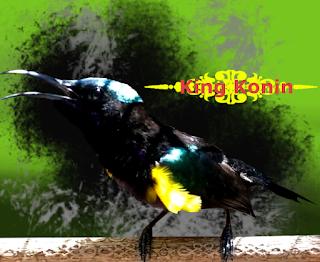 Suara King Konin (Kolibri Raja) Gacor