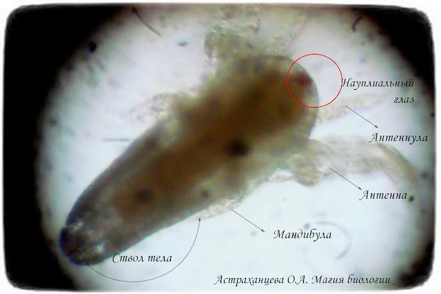 строение-личинки-артемии-первого-возраста