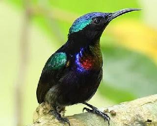 kolibri gacor