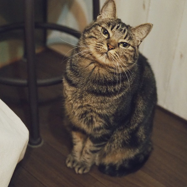 まんまるフォルムのキジトラ猫