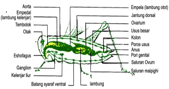 Ciri-Ciri dan Contoh Hewan Kelas Insecta
