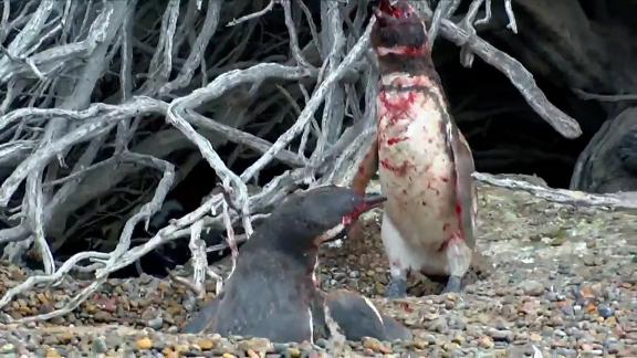 Pingüino destroza a su oponente al encontrarlo en el nido