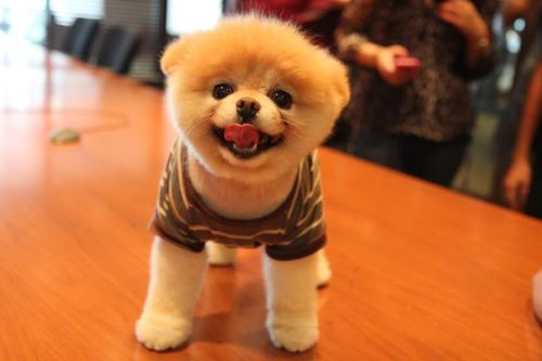 Najładniejsze CIACHA: Podoba ci się pies Boo?