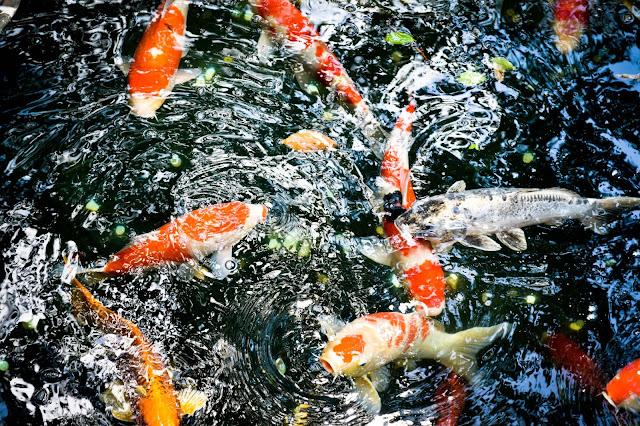 grosse,carpe,koi,gros-poisson,japon,carnet-de-voyage