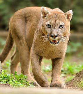 Пума настигла добычу у крыльца дома. Хозяин дома услышал странный шум ночью, проверив свою камеру наблюдения он обнаружил как горный лев приволок свою добычу оленя к крыльцу дома.  Скорее всего дичь спасаясь от льва забежала в частный сектор, где её настигла кошка.  Кошку спугнул включившийся свет и она уволокла добычу обратно в лес.