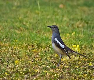 Salah satu hambatan kacer tidak mau kawin adalah karena birahi salah satu burung kurang atau tidak menanggapi pasangannya