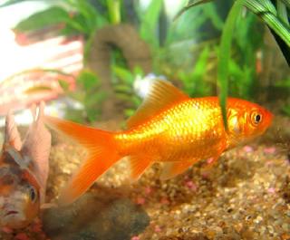 ikan mas kecil