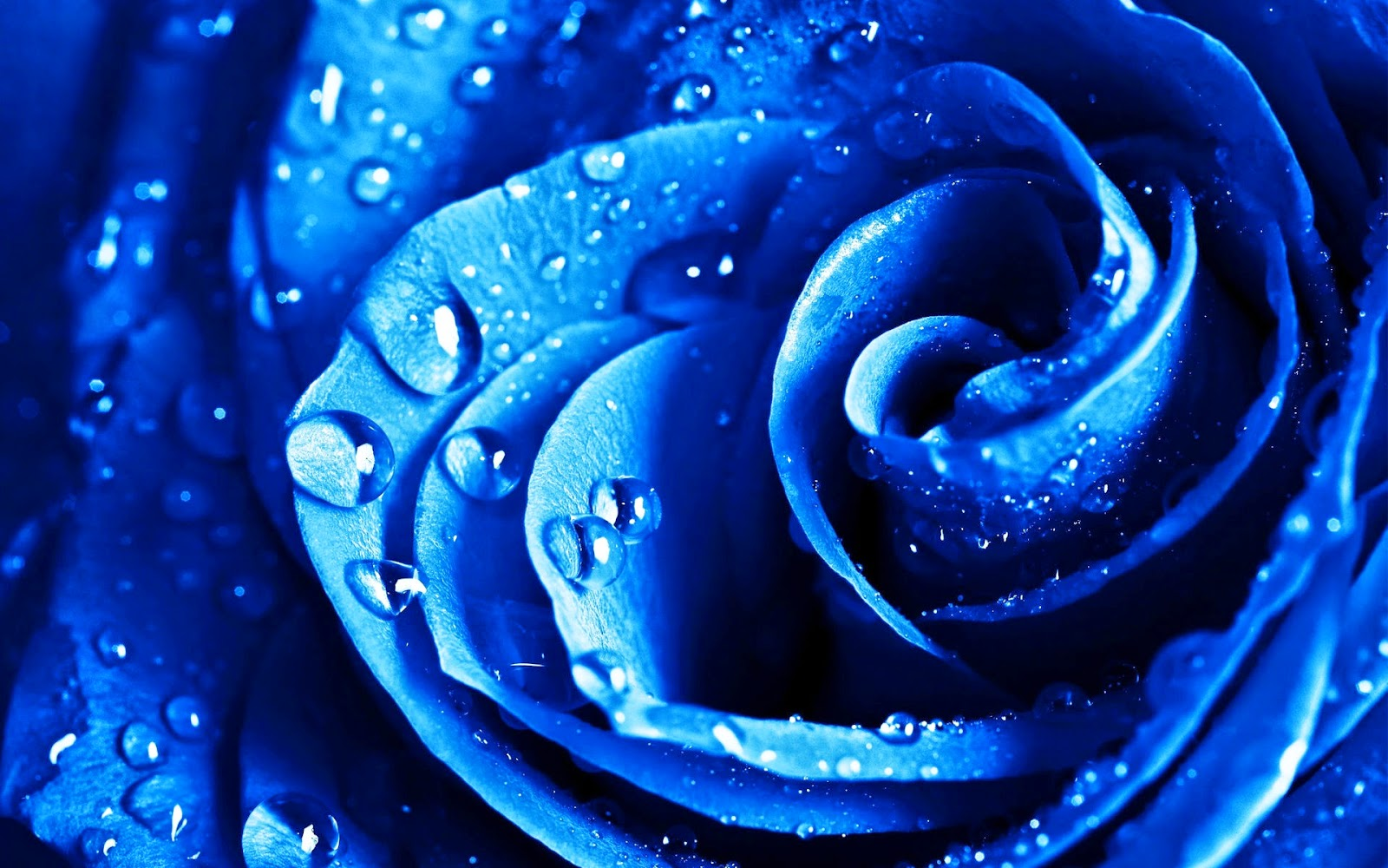 blue-roses-to-of-dew-hdlovewallpaper