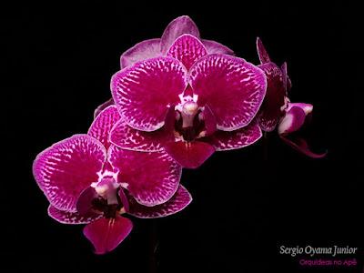 Mini Phalaenopsis híbrida