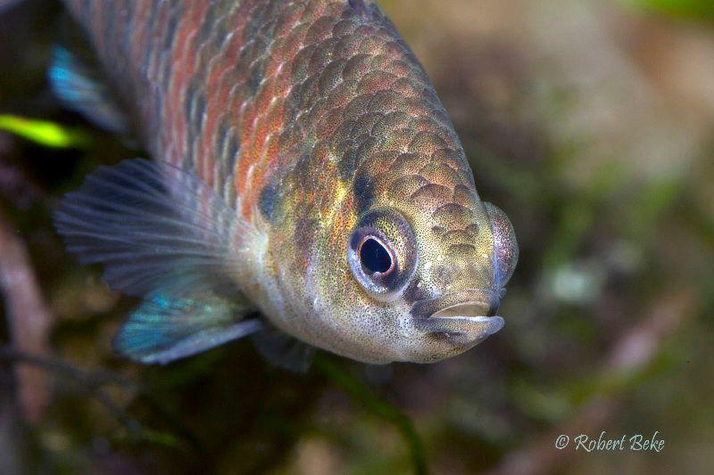 Gambar Ikan Hias Badis-Badis