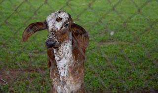 Animal Emenda Constitucional Vaquejada EC 96/2017