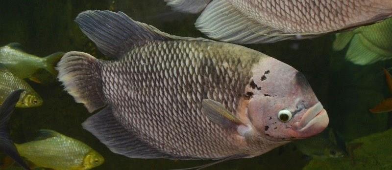 Ikan Fasciata (Giant Gourami) Ikan Hias Terbesar dari Kelompoknya