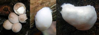 Lycoperdon pyriforme Lycogala flavofuscum Reticularia lycoperdon