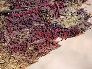 Cribaire pourprée - Cribraria purpurea