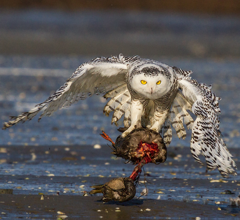 barry the birder do snowy owls catch fish