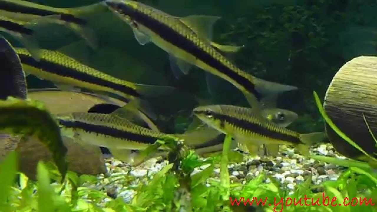 Gambar dan Foto Sekilas Profil Ikan Hias SAE - Siamese Algae Eater Dan Cara Merawatnya
