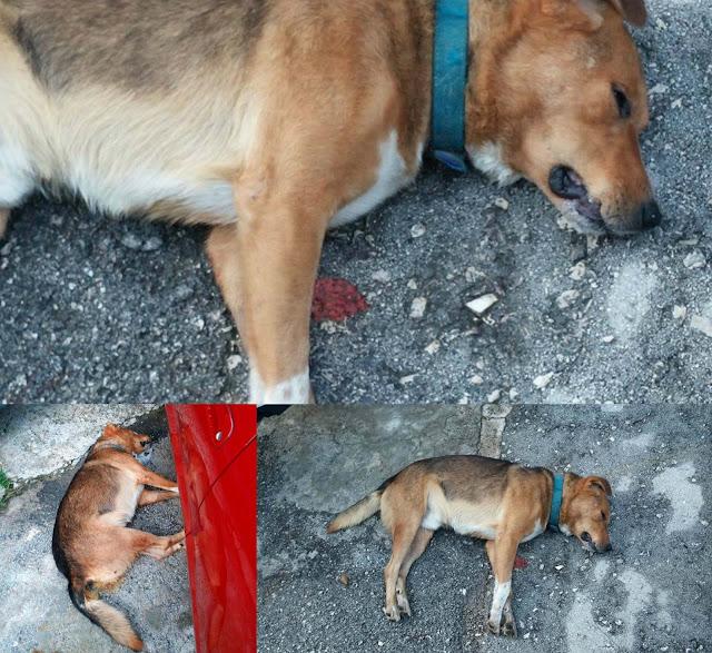 Ηγουμενίτσα: Τρία σκυλιά νεκρά από φόλες (+ΦΩΤΟ)