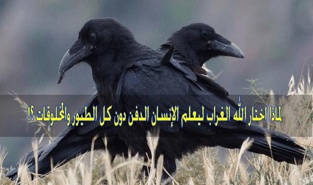 لماذا اختار الله الغراب ليعلم الإنسان الدفن دون كل الطيور والمخلوقات ؟!,أسرار الغراب, هل تعلم, حقائق غريبة, معلومات غريبة, دفن هابيل, دفن الغراب, غرائب, لن تصدق, سبحان الله