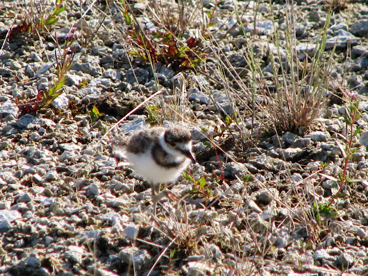 Killdeer Chick in Yellowstone National Park