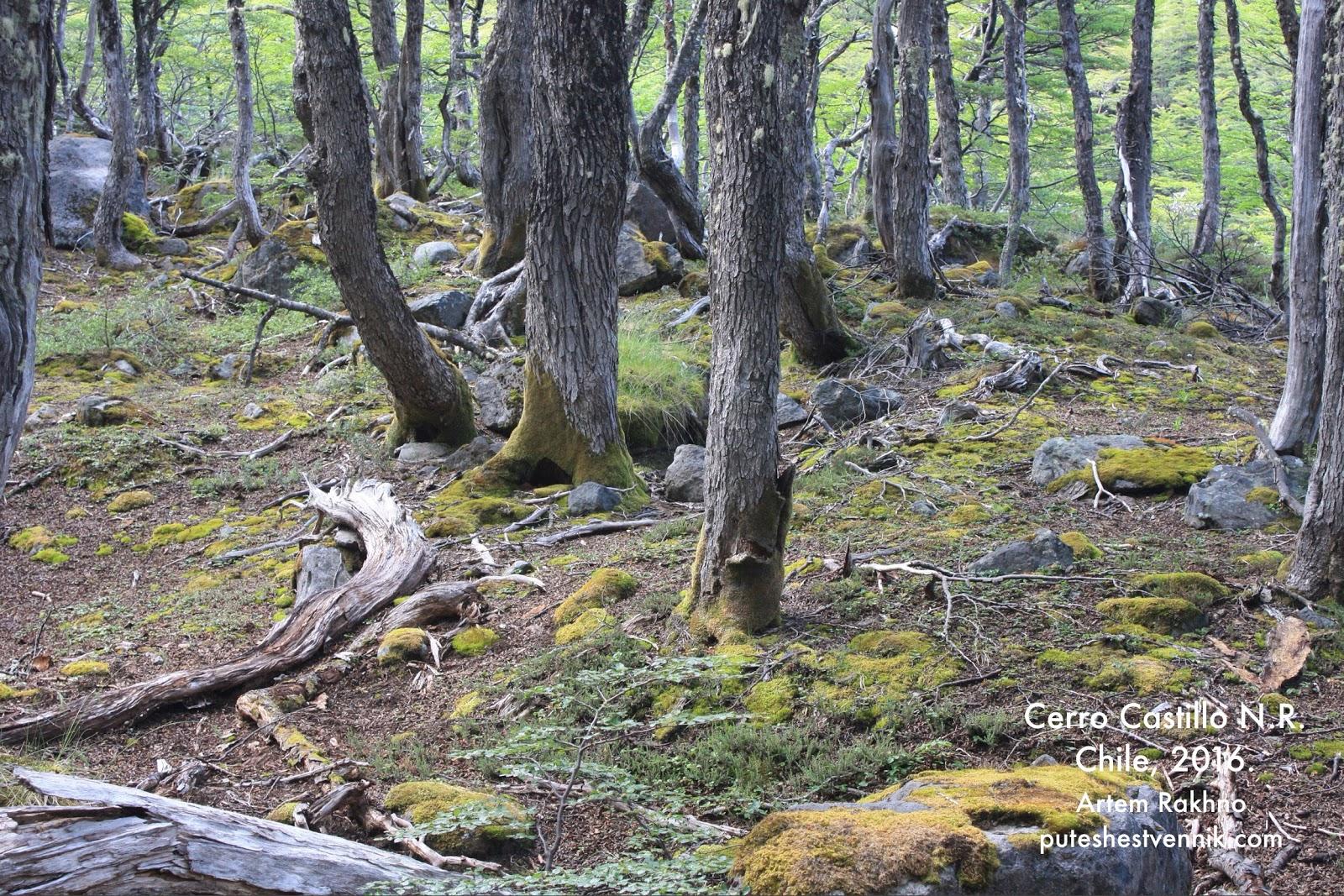 Лес в Чили