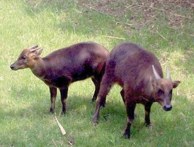 Indonesian Native Animals