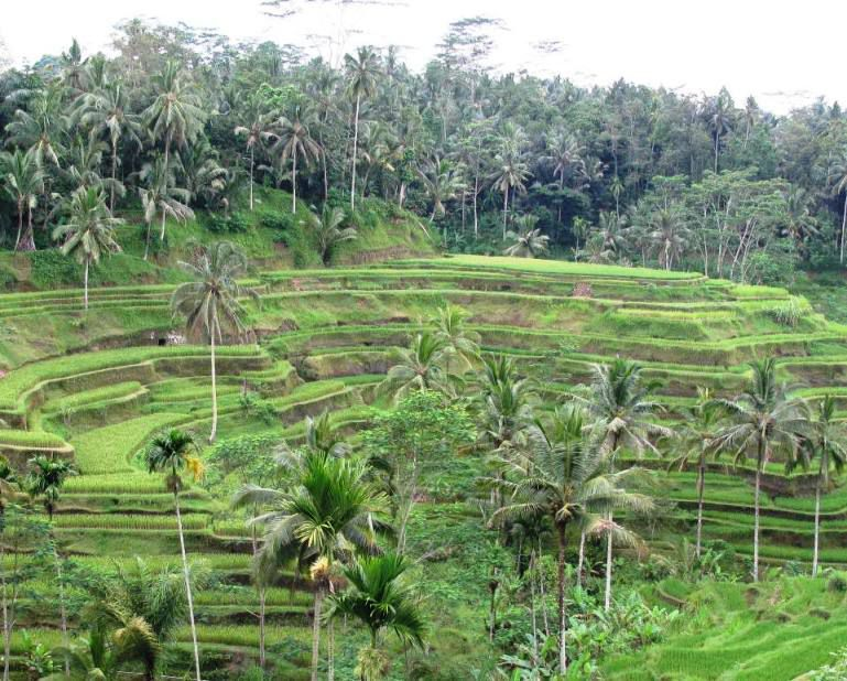 Ceking Tegallalang Rice-Fields Terraces
